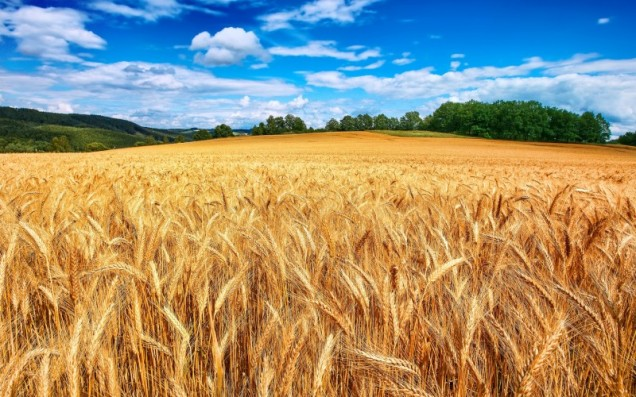 5199-golden-wheat-field-800x600